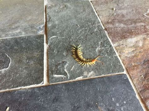 Redheaded centipede that can catch a daily mail online jpg 920x690